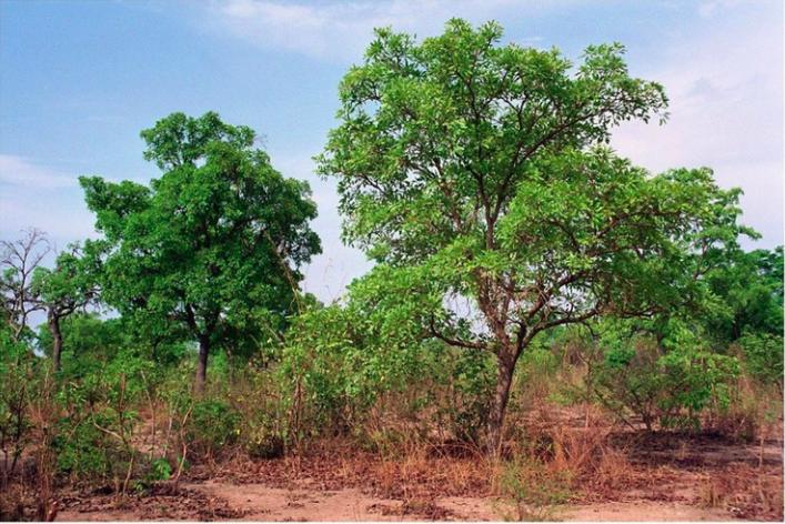 Rebellissime karité arbre sauvage